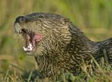 Otter   0054