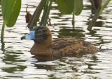 12232009 Viera Masked Duck