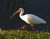 03162010   White Ibis Breeding Colors   2184