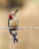 03272010   Red-bellied Woodpecker  3211