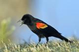 04052010  Red wing  Blackbird   3838