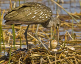04042010   Limpkin with Egg 3681