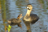 Grebe with Chick  8015