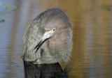 Little Blue Heron  3346