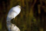 Snowy Egret  3522