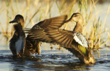 Mottled Duck 3410
