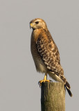 Red-shouldred Hawk  5068