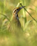 Eastern Meadowlark  5046
