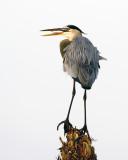 Great Blue Heron 5141