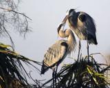 Great Blue Heron Nest Building 5485