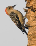 Red-bellied Woodpecker  6554