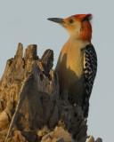 Red-bellied Woodpecker   6571