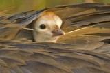 Sandhill Crane 2008  Interlachen Nest