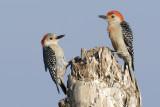 Red-bellied Woodpecker Pair  9025