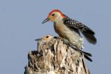 Red-bellied Woodpecker Pair  9023
