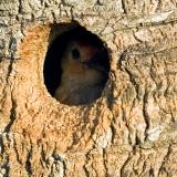 Red-bellied Woodpecker  8493