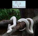 Texas Rat Snake (White)