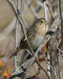 Nelson Sharp-tailed Sparrow