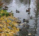 Ducks 1 (3)