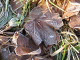 Frosted Leaves..