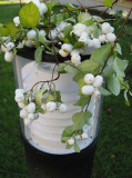 Snowberries On A  White Lamp..