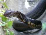 Snakes Seen In The Wilds Of Sarawak