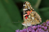 Painted Lady / Tidselsommerfugl