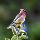 Cedar Waxwing on top of the Apple Tree