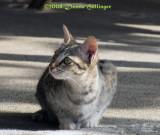 Cambodian Cat