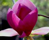 Magniolia Petals
