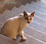 A bit of a Siamese Cat