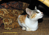 Krisna's Kitty : Belang
