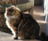 Augie is a Maine Coon Cat