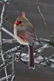 Female Cardinal Next Door