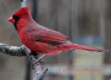 Cardinal this afternoon