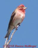 Finch Getting Redder and Redder