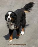 Mike's Dog (Bernise Mountain Dog)