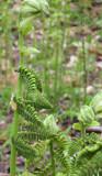 Interrrupted Fern Spores