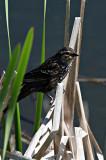 Female Red Winged Blackbird Has an Epaulette Too!