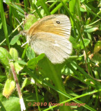Common Ringlet Today