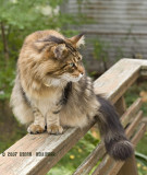 Neighbor Maine Coon