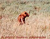 Male Lion on the Serengeti Plain
