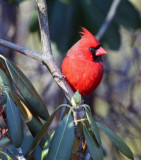 Male Cardinal on Rhododendrum