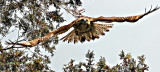 Redtail Hawk Steering Through the Trees