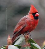 Male Cardinal on the Rhododendron