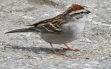 Chipping Sparrow Visiting the Terrace