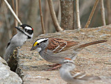 Woodpecker, White Throated Sparrow, and Chipper!