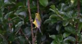 Lawrence's backcross Warbler
