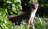 Long Tailed Weasel Hunts Chipmunk