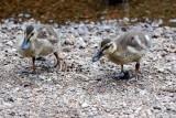 Pretty ducklings...